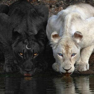 Black and white lions